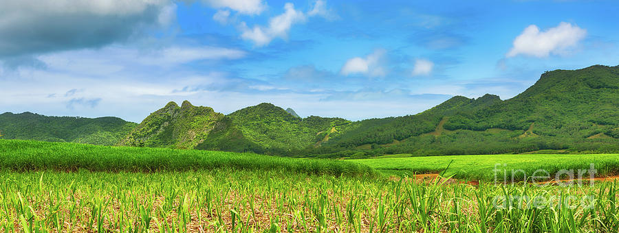 View Of A Sugarcane And Mountains. Mauritius. Panorama Photograph