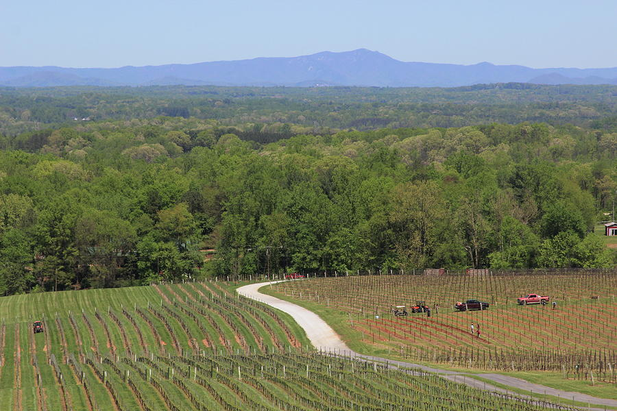 View Of Blue Ridge From The Vineyard 3 by Cathy Lindsey
