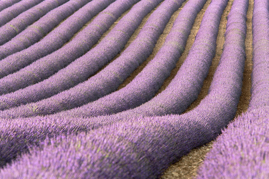 View Of Cultivated Lavender Field Photograph by Michele Berti