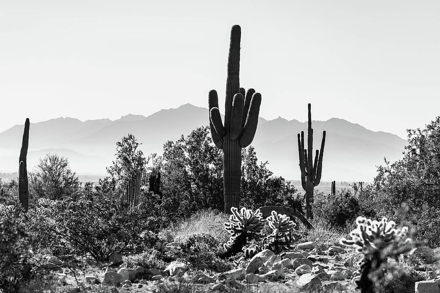 Saguaros in the Desert by Juliana Swenson