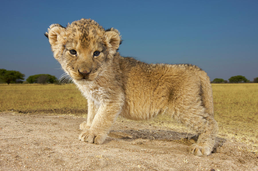 View Of Young Lion Cub Panthera Leo Photograph by Heinrich Van Den Berg