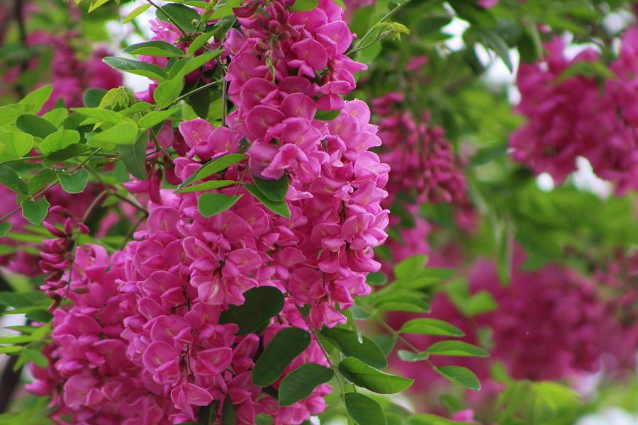 Vin Rouge Photograph - Vin Rouge Flowers on Locust Tree in Rain by Colleen Cornelius