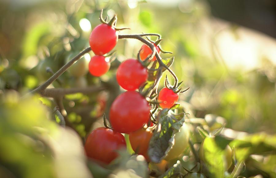 Vine Ripened Organic Grape Tomatoes Photograph by Epicurean