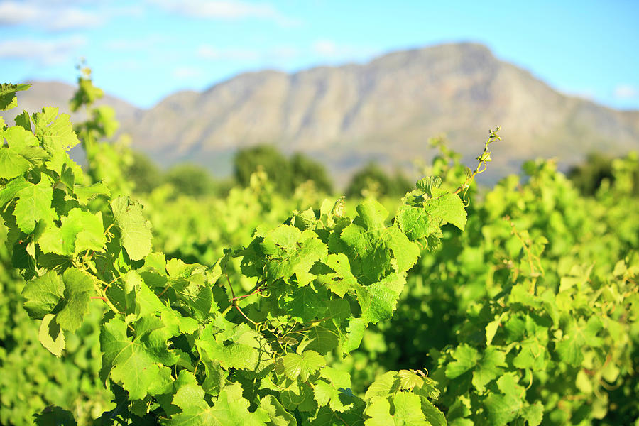 Vines In Vineyard Stellenbosch South Photograph by Mof