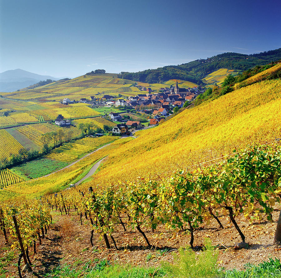 Vineyard In Alsace, Haut-rhin, France Photograph by Slow Images