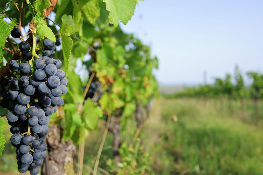 Vineyard Photograph by Mac99