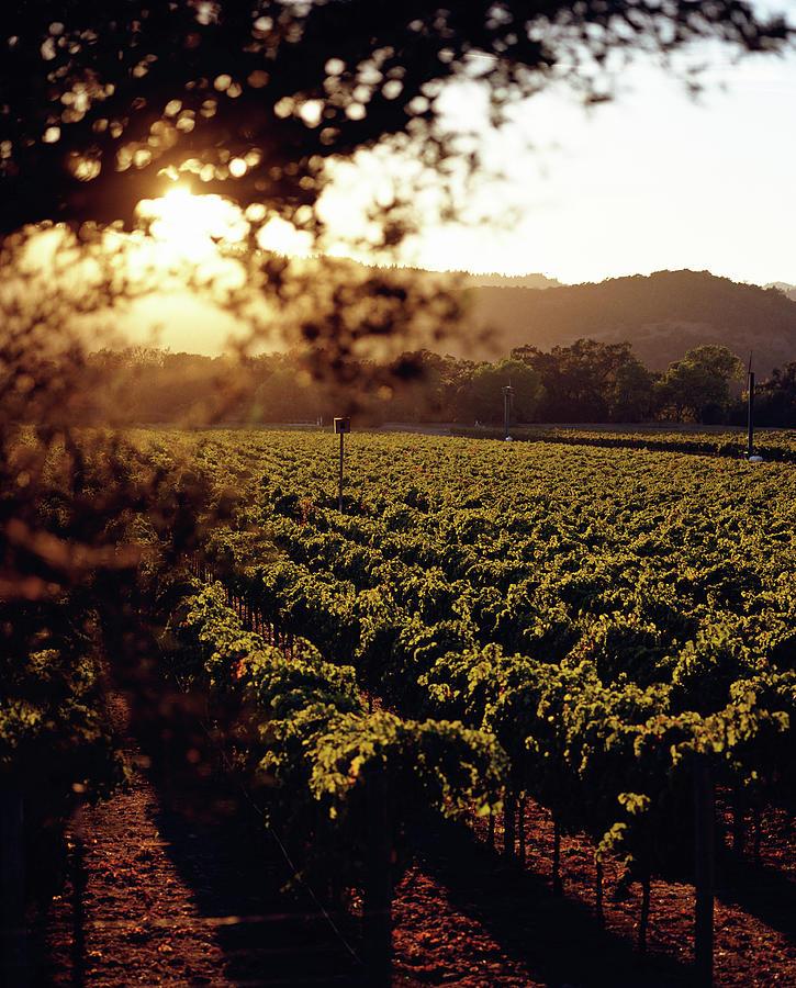 Vineyard, Napa Valley, California, Usa Photograph by Lisa Romerein