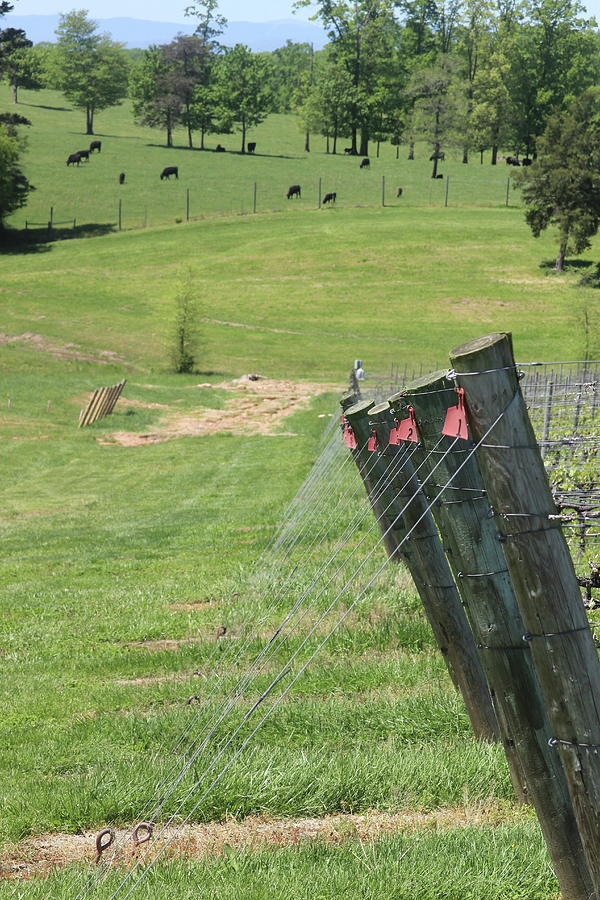 Vineyard Posts And Cows by Cathy Lindsey