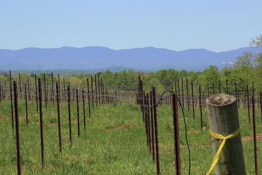 Vineyard Posts In Spring 10 by Cathy Lindsey