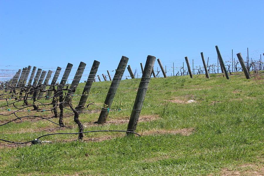 Vineyard Posts In Spring 3 by Cathy Lindsey