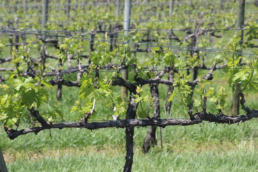 Vineyard Posts In Spring 4 by Cathy Lindsey