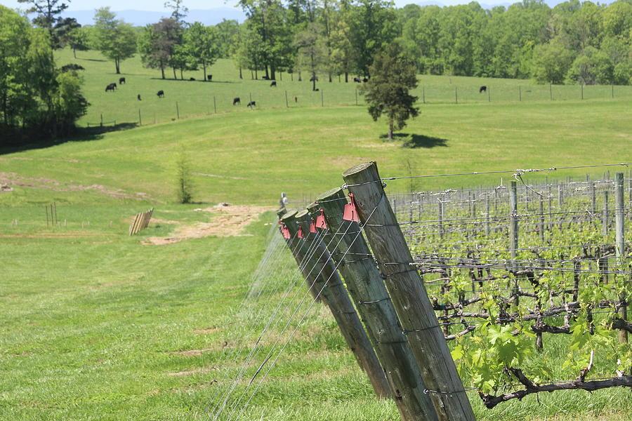 Vineyard Posts In Spring 5 by Cathy Lindsey