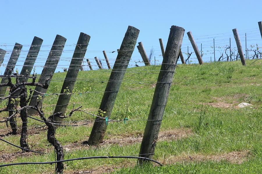 Vineyard Posts In Spring by Cathy Lindsey