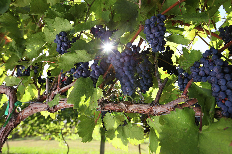 Vineyard Wine Grapes Photograph by Georgepeters