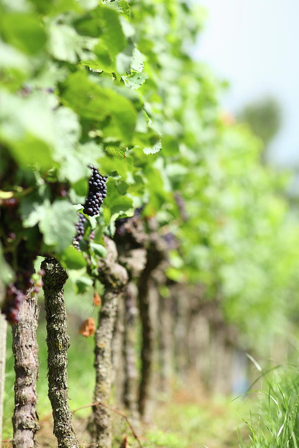 Vineyard With Red Ripe Grapes Photograph by Schmitzolaf