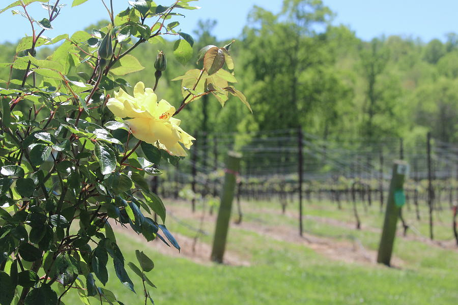 Vineyard Yellow Roses In Spring 2 by Cathy Lindsey