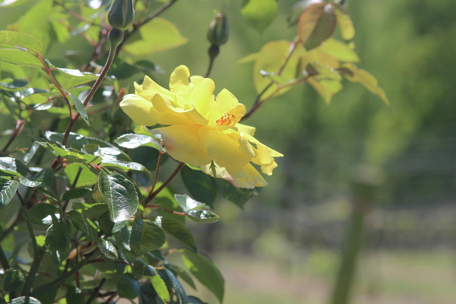 Vineyard Yellow Roses In Spring by Cathy Lindsey