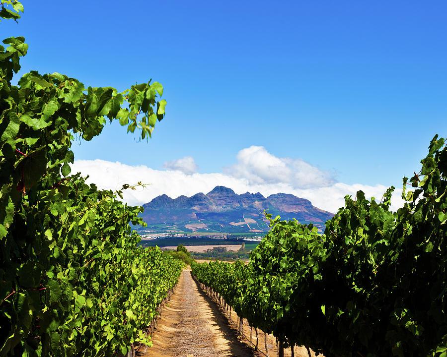 Vineyards In Stallenbosch Photograph by Izusek