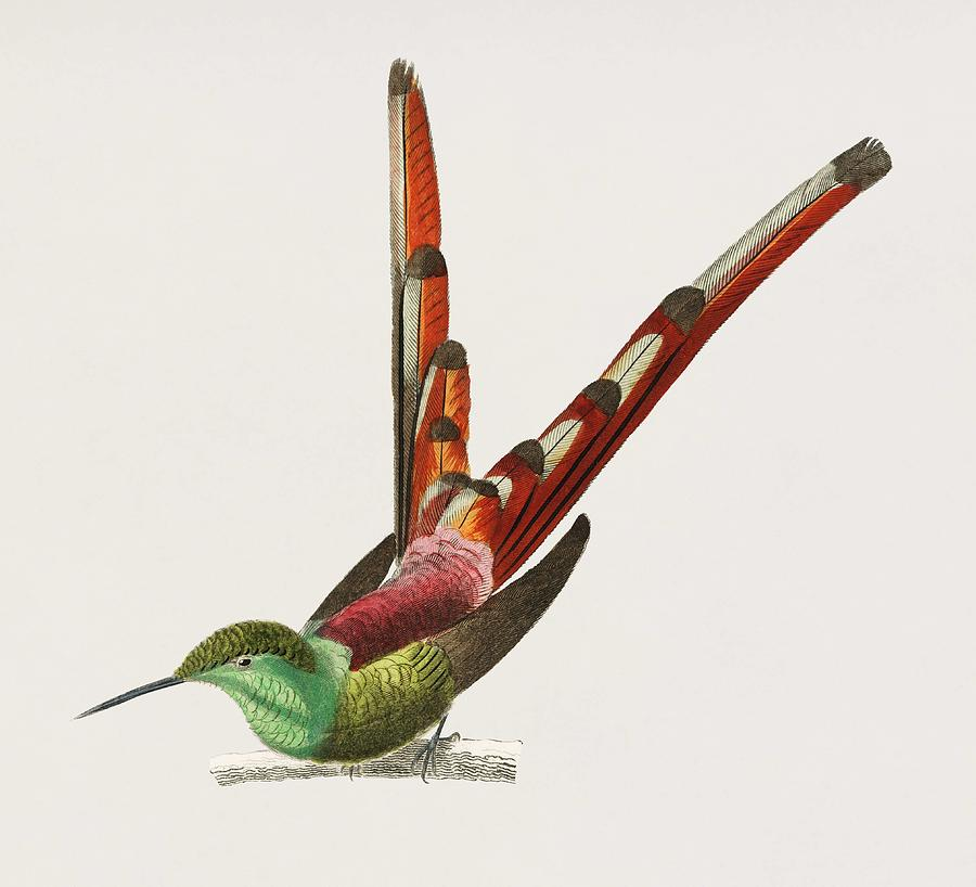 Vintage Illustration of Red tailed comet  Oiseau nouche Sapho  by Celestial Images