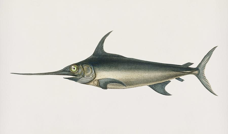 Vintage Illustration of Swordfish  Xiphias gladius  by Celestial Images