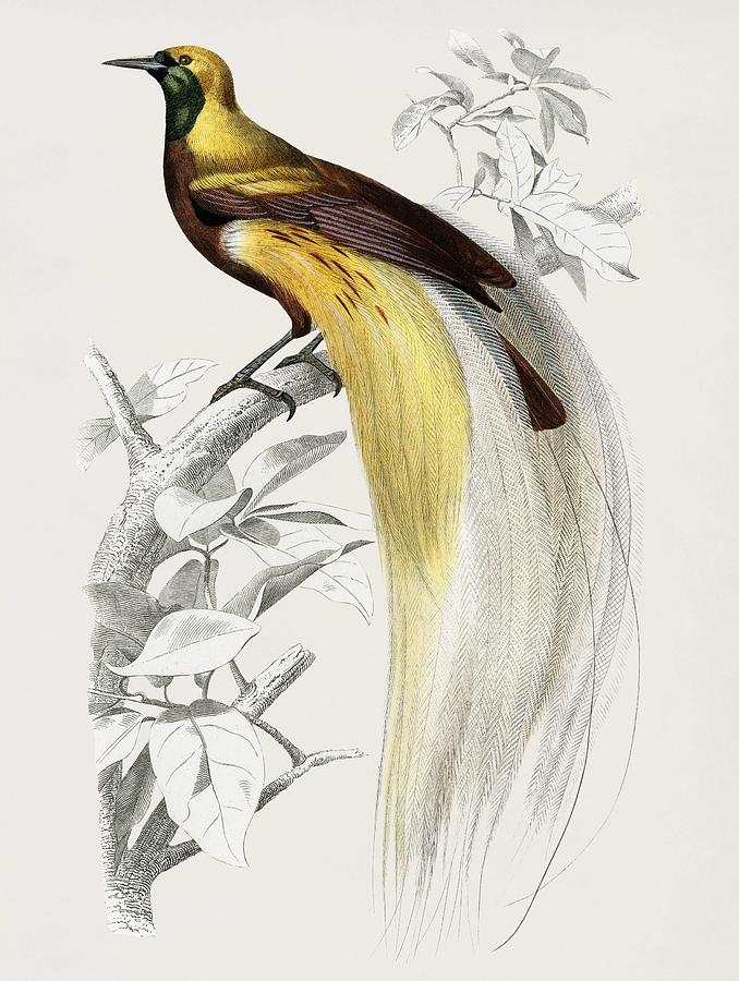 Vintage Illustration of The greater bird-of paradise  Paradisaea apoda  by Celestial Images