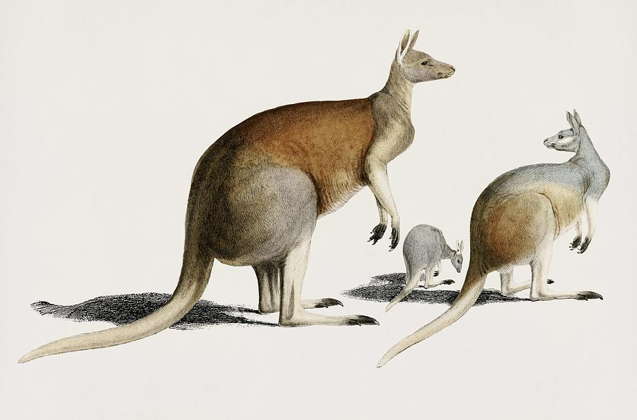 Vintage Illustration of The red kangaroo  Macropus rufus  by Celestial Images