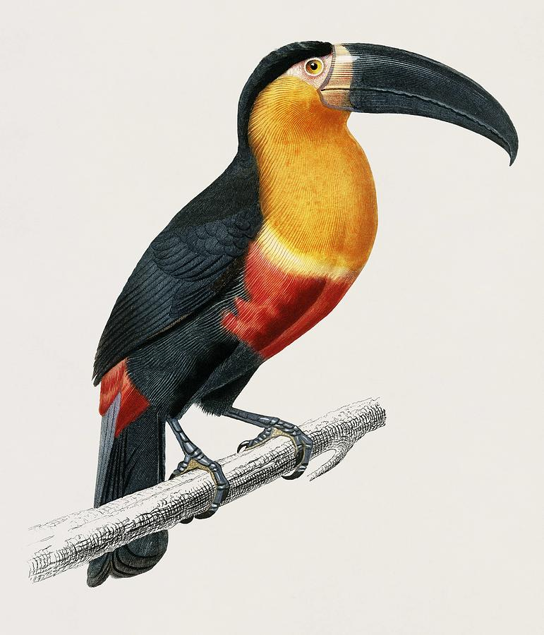 Vintage Illustration of Toucan  Ramphastos  by Celestial Images