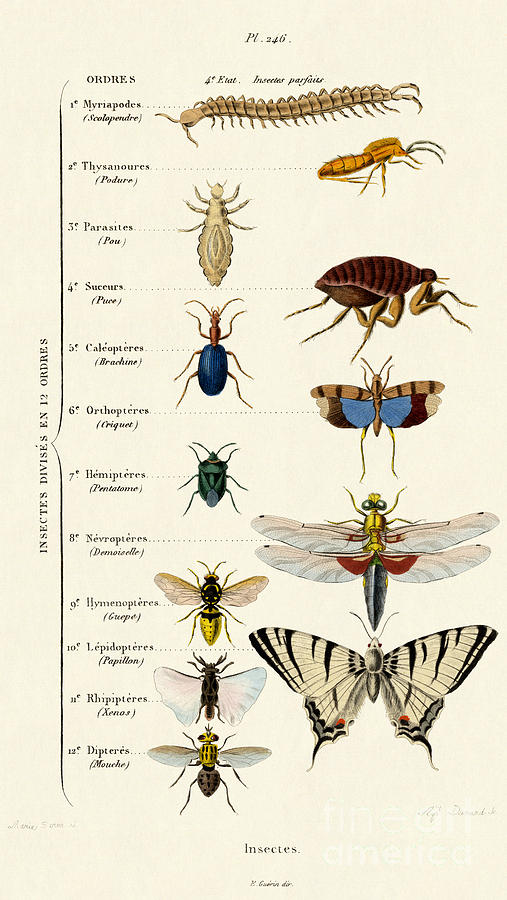Butterfly Drawing - Vintage Insects Print by French School
