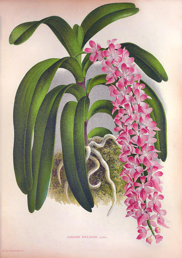 Vintage Lilac Orchid Aerides Fieldingi Lindenia Collection by Jean Jules Linden