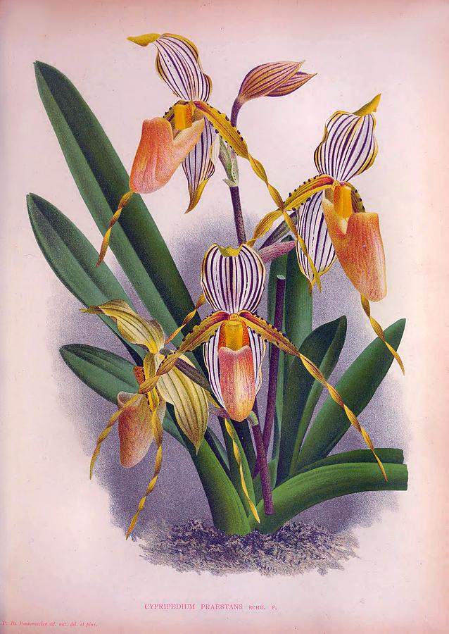 Vintage Peach Orange Orchid Cyprepedium Praestans Lindenia Collection by Jean Jules Linden