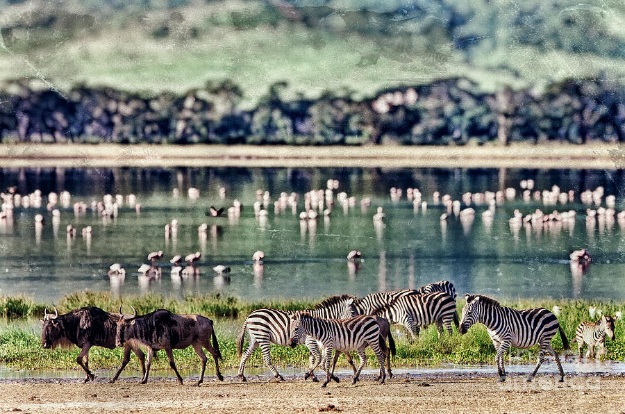 Game Photograph - Vintage Style Image Of Zebras And by Travel Stock