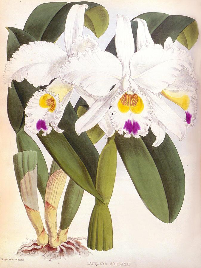 Vintage Cattleya Morgane White Lindenia Orchid by Jean Jules Linden