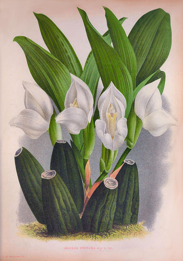 Vintage White Orchid Anguloa Uniflora Lindenia Orchid by Jean Jules Linden