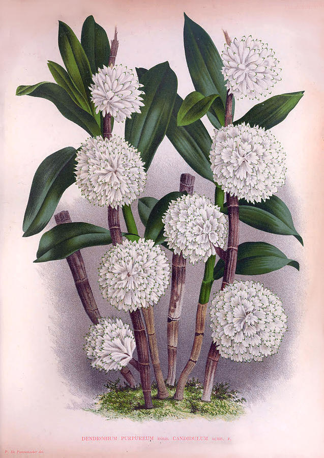 Vintage White Orchid Dendrobrium Purpurem Candidulum Lindenia Collection by Jean Jules Linden