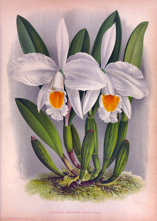 Vintage White Orchids Cattleya Virginalis by Jean Jules Linden