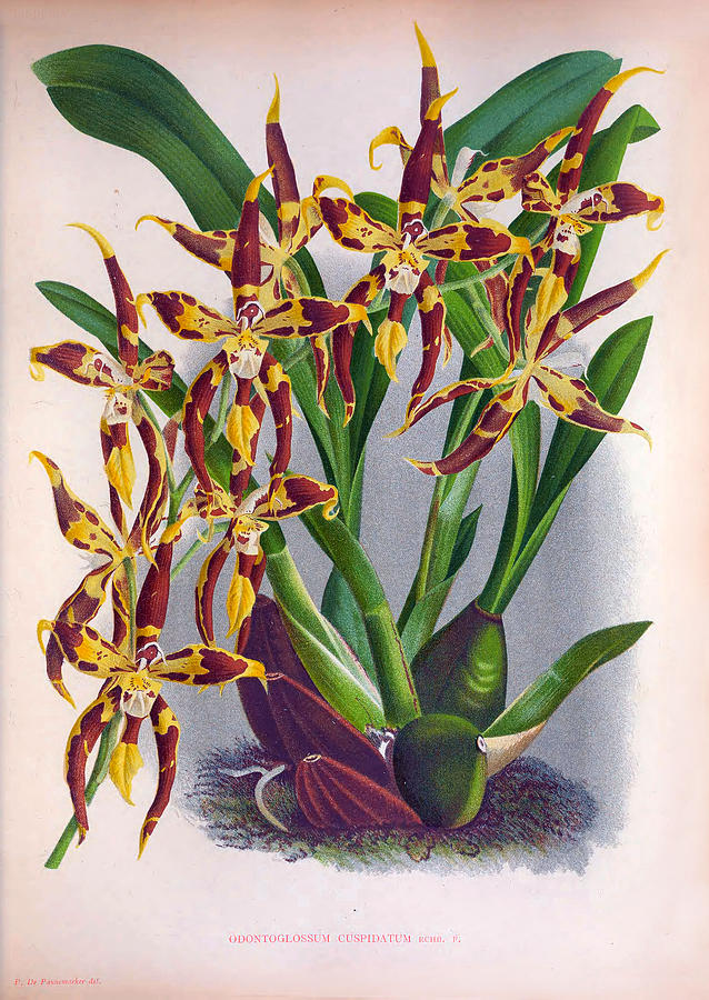 Vintage Wine And Yellow Orchid Odontoglossum Cuspidatum by Jean Jules Linden