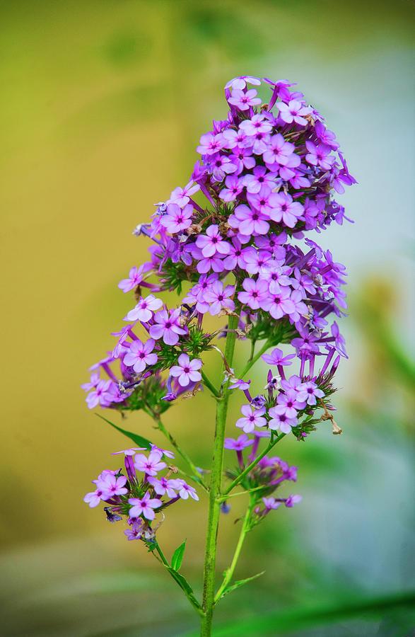 Violet flower by Suguna Ganeshan