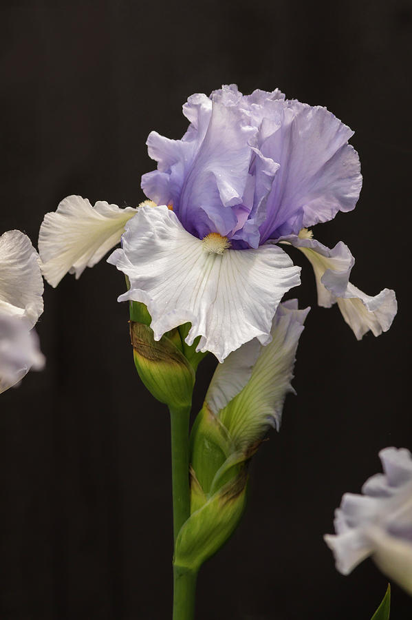 Violet-White Iris by Mark Mille