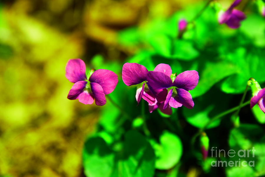 Flowers Photograph - Violets by Jeff Swan
