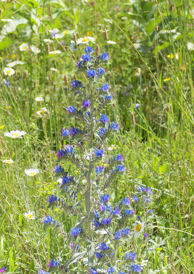 Viper's Bugloss by Sally Sperry