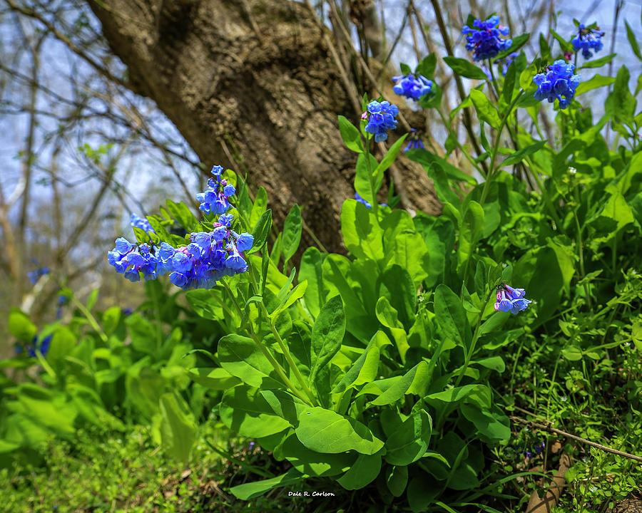 Virginia Bluebells by Dale R Carlson
