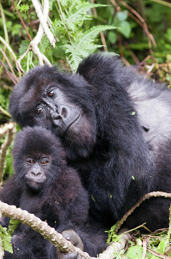 Africa Photograph - Virunga Mountains, Rwanda, Africa by Karen Ann Sullivan
