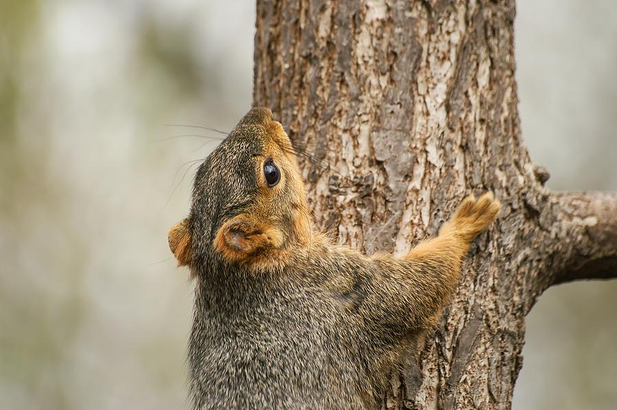 Vlimb High Young Squirrel by Don Northup
