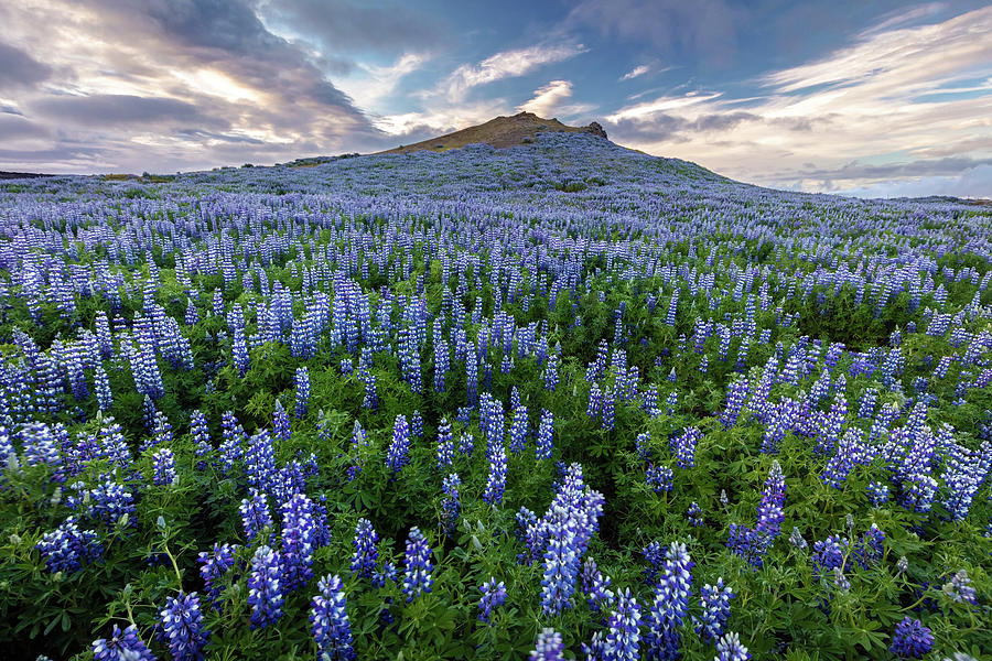 Volcano Lupines by Pierre Leclerc Photography
