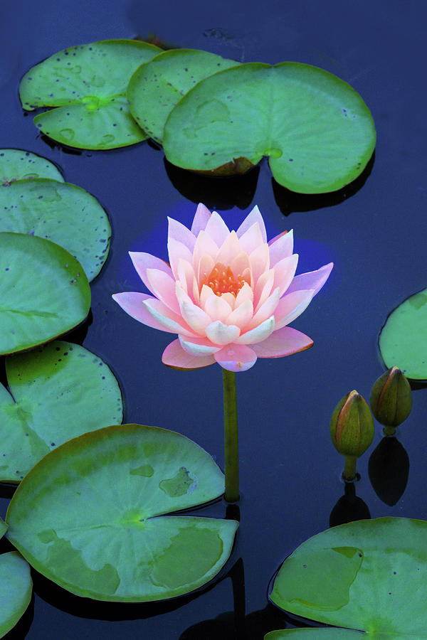 Lilies Photograph - Layering Lotus  by Jessica Jenney