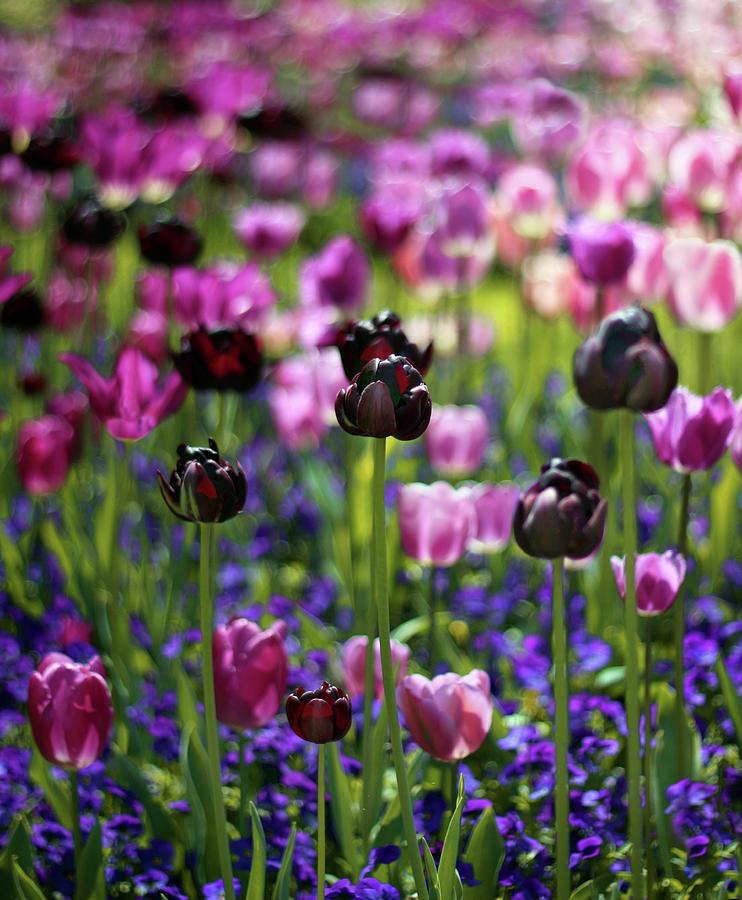 Flowers Photograph - Tulip Joy by Jessica Jenney