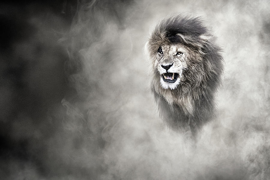 Vulnerable African Lion In The Dust by Susan Schmitz