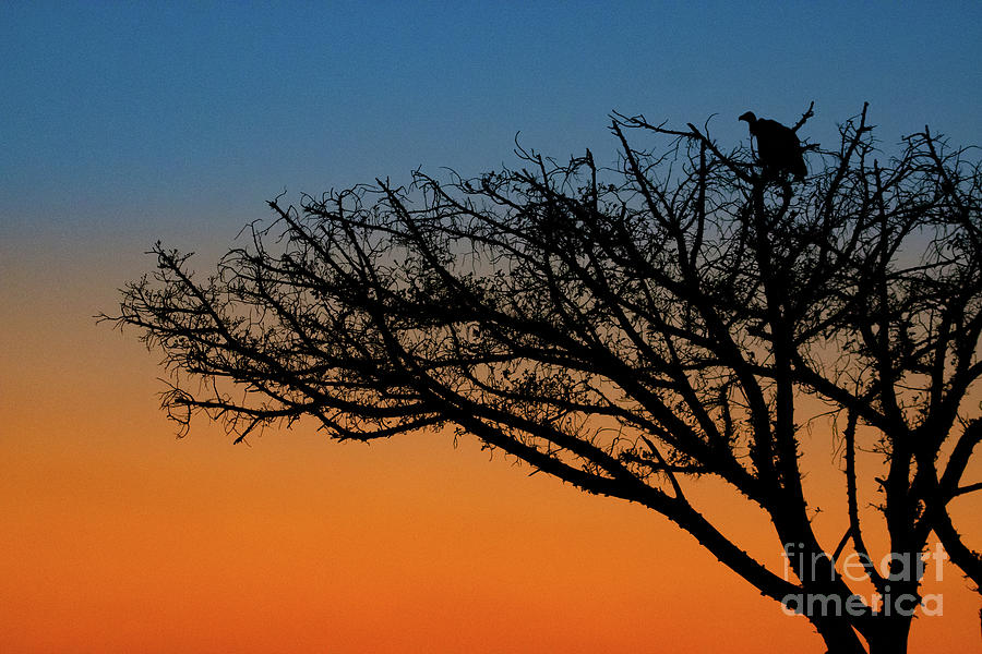 Vulture in a tree at sunrise. by Jamie Pham