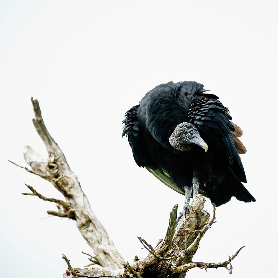 Vulture Perched On Tree Photograph by Roine Magnusson