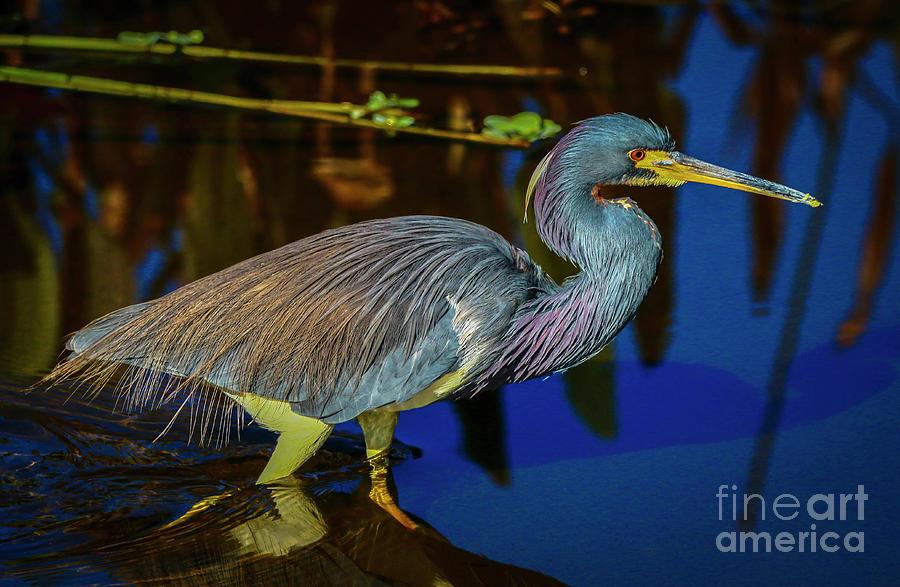 Wading Heron by Tom Claud